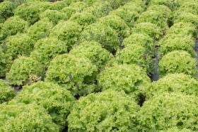 La lechuga crespa es uno de los cultivos que posee la huerta.