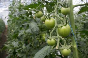 Cultivo de tomates.